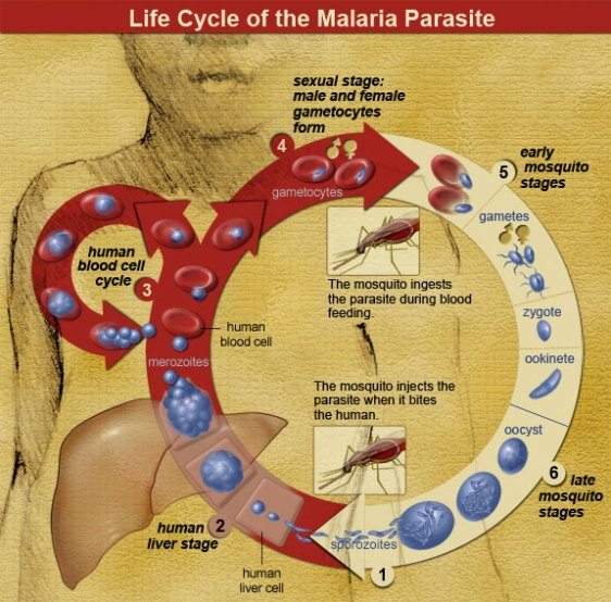 Live cycle of the malaria parasite