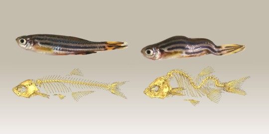 Zebra fish model for scoliosis study