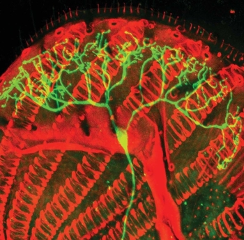 Multidendritic neuron in a drosophila tongue